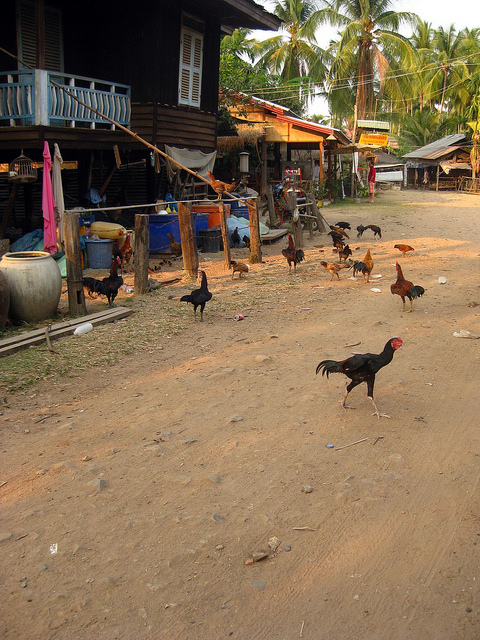 Chickens Wander the Road on Don Khone