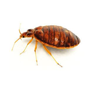 Groupe AZ Extermination exterminator Bed Bug