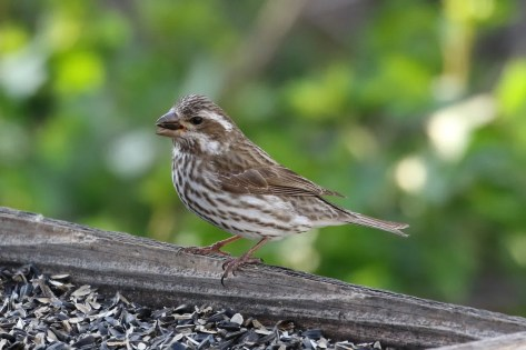 This Purple Finch may have flown from one house to another, as it was seen in roughly the same neighborhood in Lakewood, Jefferson Co Colorado, six days apart.Seen here on 20 Apr 2016. Photo © Mark Chavez.