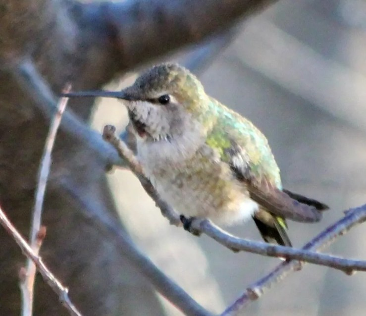 This female Anna's Hummingbird, Nebraska's first, frequented the Manning family's feeders in Omaha, Douglas County, Nebraska 19 November to 9 December 2016. (Here photographed 19 November.) Photograph by © Sam Manning.