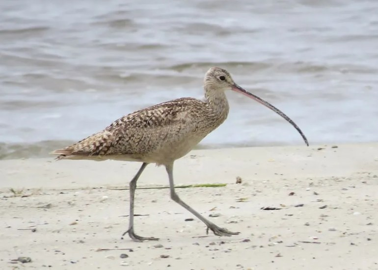 Long-billed Curlew is scarce and erratic on the Mississippi coast. This individual was stalking the shore of Biloxi, Harrison Co 13 Aug 2016. Photo © Brian Johnston.