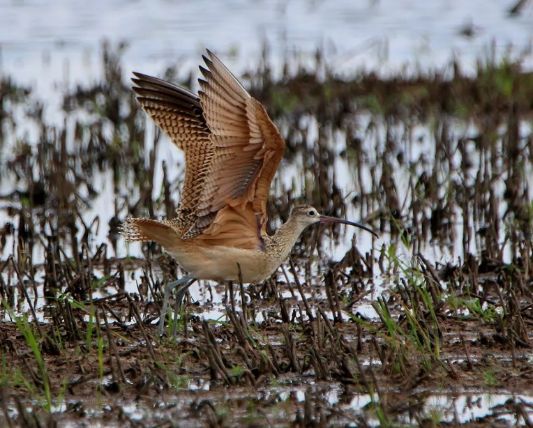 Just the eighth for Arkansas, this Long-billed Curlew was nicely documented at Bald Knob N.W.R., White County 5 Sep 2016. Photo by © Tamalyn Wortham.