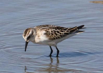 This juvenile Little Stint, photographed on 9 October 2016, present at the San Jacinto Wildlife Area 9-15 October 2016 was the first to be identified in Riverside County. Photo © Anthony Metcalf.