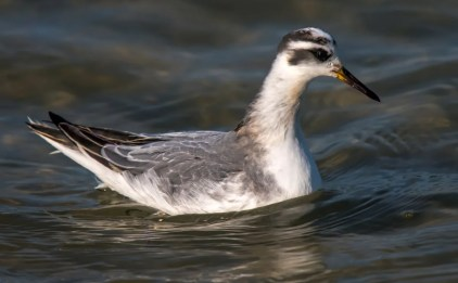 The rare Red Phalarope was a treat for many at an Alabama Ornithological Society meeting on Dauphin Island, Mobile Co 14 Oct 2016. Photo © Karen Chiasson.
