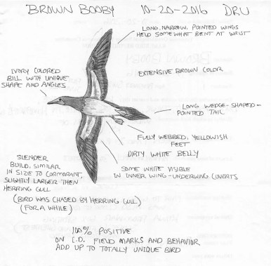 Given the increasing number of inland records, including from several neighboring states, it was perhaps inevitable that TN birders would document a Brown Booby. This adult was well-observed, albeit from a distance, at the Duck River Unit of Tennessee NWR in Humphreys Co 20–21 Oct 2016. Sketch © Ruben Stoll.