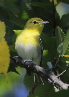 This Yellow-throated Vireo found at Grandview Cemetery, Larimer on 16 Sep 2016 was one of just two detected this season. Photo © Dave Leatherman.