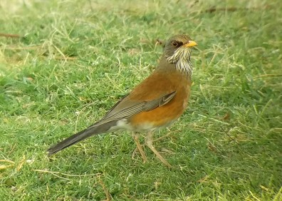 One of four Rufous-backed Robins found in Southern California in the fall of 2016, this individual was present at the Cactus City Rest Area on Interstate 10, Riverside County for only one day: 23 October 2016. Photo © Steve Jaggers.