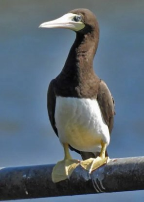 A Brown Booby in the far north of Mississippi was a shock at Chewalla Lake, Marshall Co, here 5 Oct 2016. Photo © Robert Briscoe.