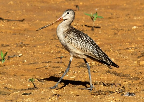 Always a regional rarity, this Marbled Godwit was present at South Holston Lake, Sullivan Co, TN 22–31 August (here 22 August) 2016. Photo © Ron Carrico.