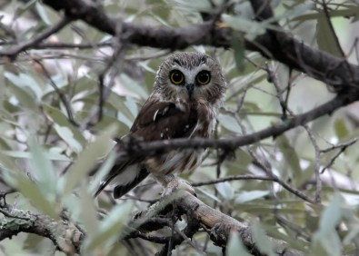 Thought to be low-density residents or perhaps semi-regular visitors to the Trans-Pecos mountains in Texas, Northern Saw-whet Owls are rarely detected given their nocturnal behavior in high & often inaccessible locations. A diligent netting & banding operation in higher elevations of the Davis Mountains was able to capture one of these small owls on 30 Sep 2016. Photo © Kelly Bryan.