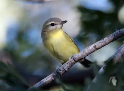 This sharp looking Philadelphia Vireo, photographed here at Flagler Park, Kit Carson on 28 Sep 2016 was one of eight reported this season. Photo © Glenn Walbek.