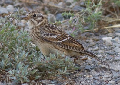 This Smith's Longspur at Wilson Cove on San Clemente Island 23 September 2016 was the first in Los Angeles County and only the fourth found in Southern California. Photo © Justyn T. Stahl.