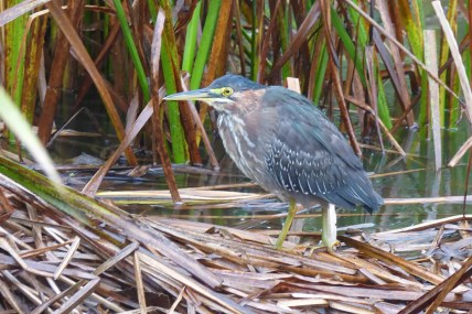 Well northwest of its usual range was this Green Heron at Regina, Saskatchewan. Seen here on 24 September 2016, the day of its discovery, it lingered for almost a month and was enjoyed by many. Photo © Laurie Koepke.