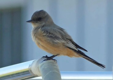 A Say's Phoebe, occasional in Mississippi, was discovered 4 Oct 2016 on West Ship Island, Harrison Co. Photo © Warren Martz.