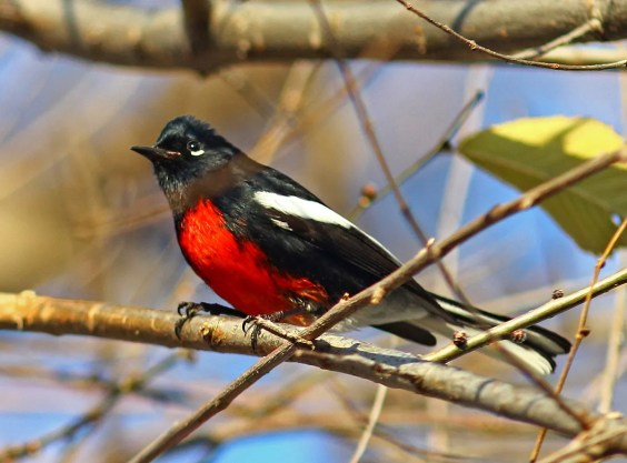 The bird of the season for the Prairie Provinces was this Painted Redstart at Pinawa, Manitoba. Seen here on 7 November 2016, the last day of its stay, it had been present since 27 October and was seen by many. It provided the third-ever record for Canada. Photo © Josiah van Egmond.