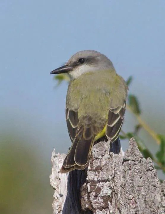 Only the sixth of the species complex for Alabama, a Tropical/Couch's Kingbird was a one-day-wonder at Fort Morgan, Baldwin Co 14 Oct 2016. Photo © Janice Neitzel.