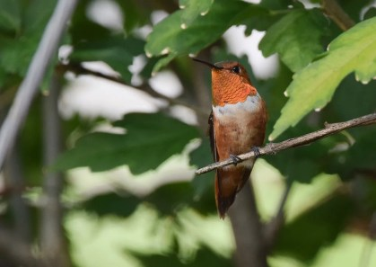 An adult male Rufous Hummingbird was found at a feeder in Springfield, Greene county, this photograph on September 13. Photo © Andy Reago.