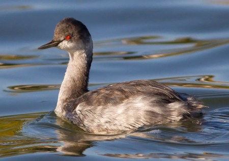 While canoeing on Lake Roxton 6 Oct., a lucky observer spotted this bird which he first thought was a Horned Grebe but that was later identified as a Eared Grebe. Photo by © Bertrand Duhamel