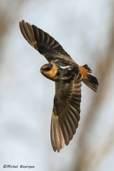 This Cave Swallow, one of two found on the island, was at Île Saint-Bernard (Châteauguay) 10-16 Nov. (here 13 Nov.). Photo by © Michel Bourque.
