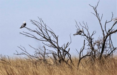 These White-tailed Kites in Harmon County, extreme southwestern Oklahoma, were observed from 4 Jan—12 Feb 2017 (here 4 Jan). This species occurs erratically in southern Oklahoma. Photograph by © Lou and Mary Truex.