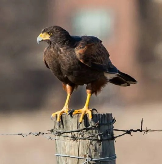 Harris's Hawk is less-than-annual in the region. This individual, found 10 Feb 2017 in Oklahoma City, Oklahoma, delighted many birders. Photograph by © Michael Anderson.