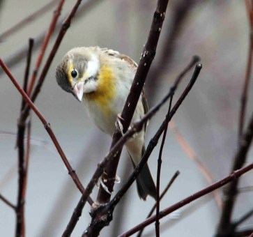 Dickcissels are very rare in Tennessee in winter. These two individuals visited feeders in Maryville, Bount County 27 Dec-3 Jan and Hendersonville, Sumner County 2 Jan. A third individual came to a feeder in Loudon County 23 Feb. Photos © Warren Bielenberg and Ken Oeser, respectively.