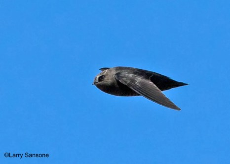 One of the six Black Swifts flying low over the Ventura County Game Preserve, Ventura Co on 7 May 2017. Photo © Larry Sansone.
