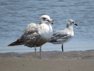 This California Gull, a fifth country record for El Salvador, was photographed 3 Apr 2017 at Barra de Santiago, Ahuachapán Dpt., El Salvador. It is the first Central American record of the species to be assigned, based on its large size and molt timing, to the northern subspecies albertaensis. The bird in the background is a Laughing Gull. Photo © Oliver Komar.
