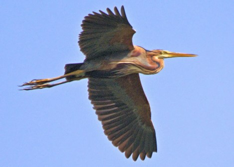 A Purple Heron was a great find at Bawdens Twin Ponds, St. Andrews, Bardados 31 Mar–2 Apr 2017. This Old World species is shown here 2 Apr. Photo © John Webster.
