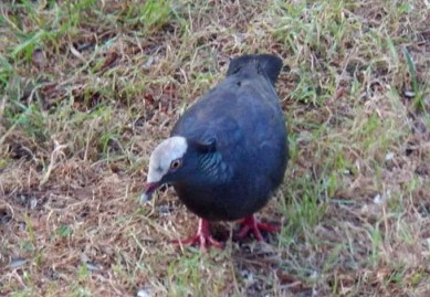 Alabama's first White-crowned Pigeon in a yard on Dauphin Island, Mobile Co., 28–30 Apr but only seen by the owners of the yard. Photo @ David Hicks.