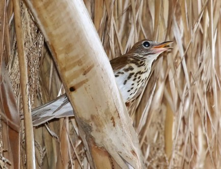 This singing Wood Thrush at the Coachella Valley Preserve on 29 May 2017 was present nearly two weeks, and is only the second found in Riverside Co. Photo © Thomas A. Benson.