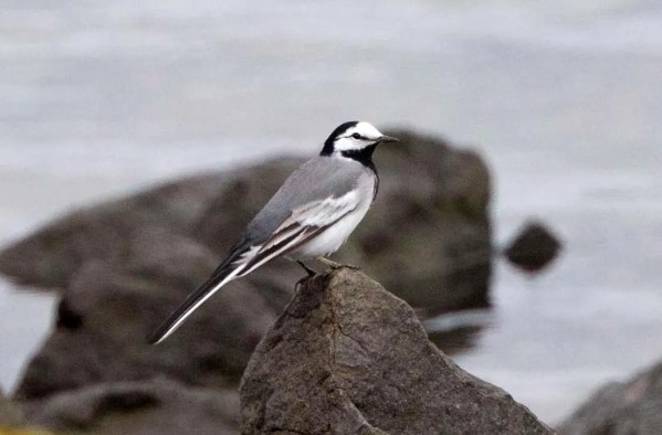 This White Wagtail of the gray-backed subspecies ocularis at the mouth of the San Diego River, San Diego Co on 23 April 2017 remained for four days. Photo © Gary Nunn