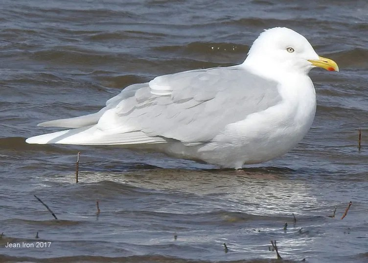 Excellent photographs of a nominate glaucoides Iceland Gull were taken 15 Apr 2017at Ashbridge's Bay, Metropolitan Toronto, for the first documented record of this subspecies for Ontario. Photo © Jean Iron.
