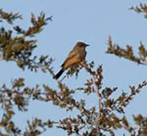 This attractive Say's Phoebe was a one-day wonder at Prince Edward Point Bird Observatory,Prince Edward Co, ON23 Apr 2017. Photo © Jacques L. Turner-Moss.