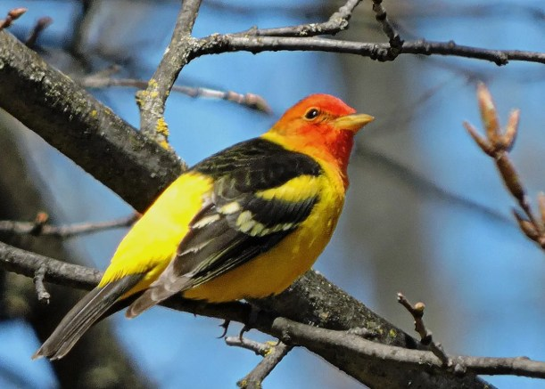 A bright male Western Tanager had wandered far from home when it frequented feeders in Dwight, Muskoka Co 2–4 May (here 3 May) 2017. This species has been recorded in Ontario more frequently in recent years. Photo © Joanne E. Redwood.