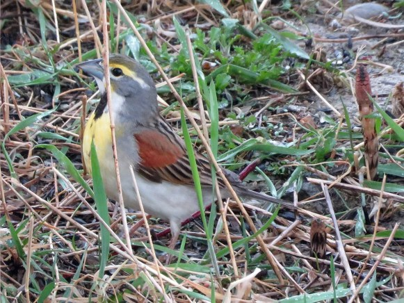 A Dickcissel invasion from the dry prairies into rain-soaked Ontario became obvious by mid-May and included several northerly outliers such as the breeding-plumaged malecoming to feeders beside Porcupine Lake, Cochrane District17–19 May (here 19 May) 2017. Photo © Roxanne D. Filion.