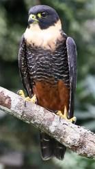 bat_falcon