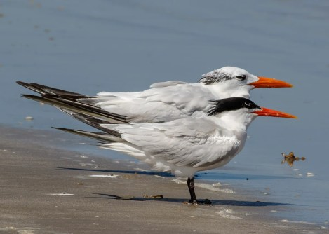 The highlight of the summer season in Texas was the discovery of as many as four Elegant Terns along the central coast. Three of those were found along Padre Island National Seashore, Kleberg Co 18–25 July 2017. Photo © Greg Lasley.