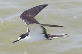 Mississippi had the greatest number of Sooty Tern observations during Tropical Storm Cindy with seven. This one at Gulf Shores, Baldwin Co 23 Jun 2017 was one of two seen in Alabama. Photo © Andrew Haffenden