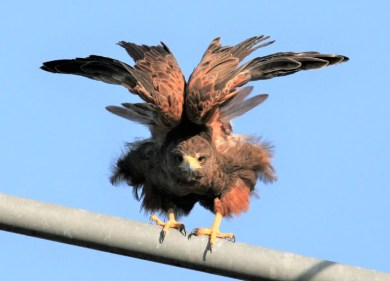 An imposing adult Harris's Hawk north of Mobile beginning 29 November (here 16 December) will stir debate as to its potential status as Alabama's first. Photo © Bill Summerour.