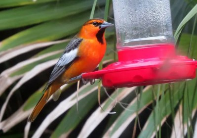 A male Bullock's Oriole in Pascagoula beginning 27 October (here 30 October) provided an eighth individual record for the Mississippi coast. Photo © Brian Johnston.