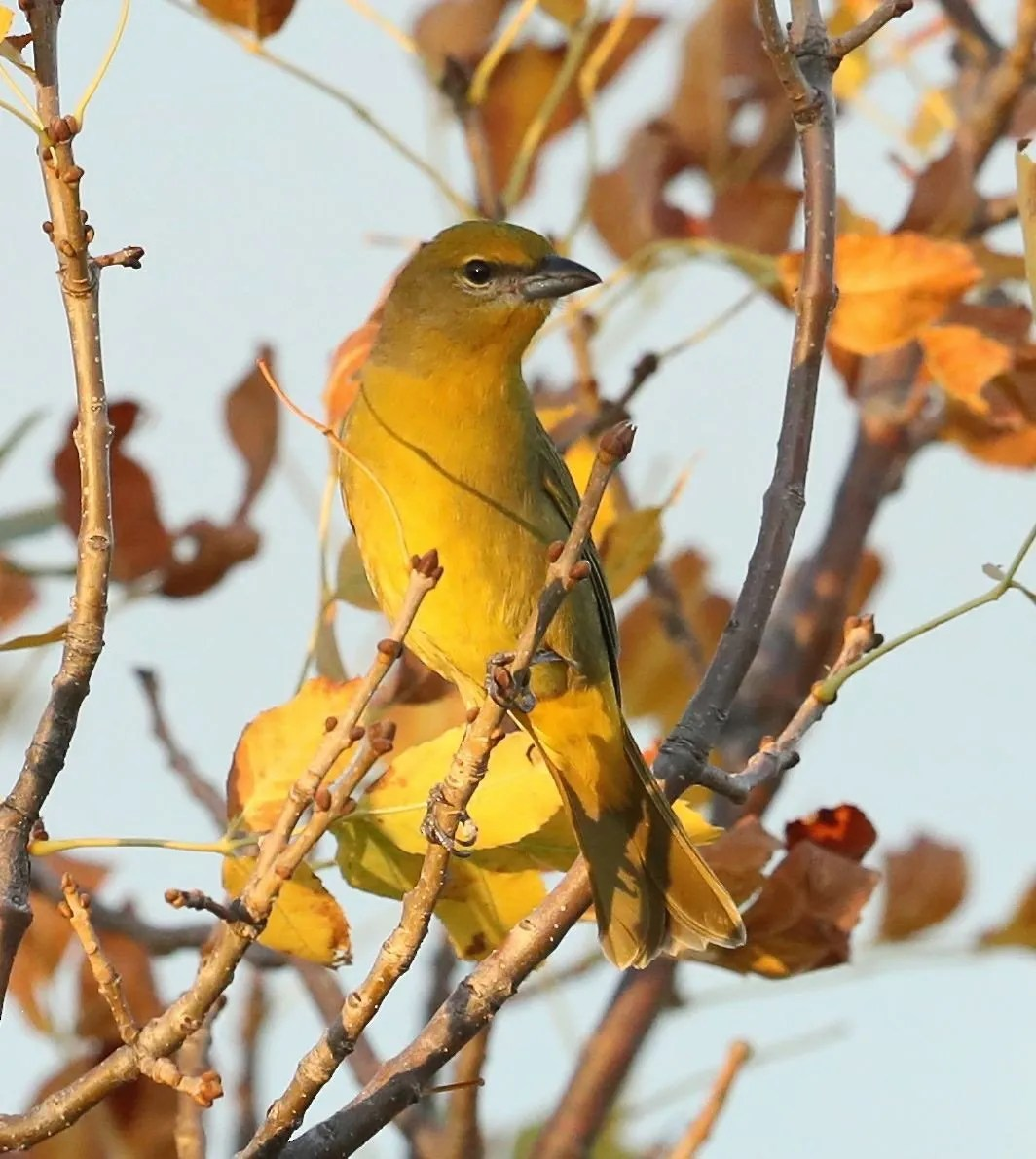 Hepatic Tanager records from Oklahoma have become more numerous in recent years; this one was found 10 Sep 2017 in Boise City, Cimarron. Photo by © Charles Lyon.