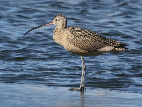 A Long-billed Curlew, rare in winter, was found and photographed at Two Buttes Reservoir, Baca Co. 25 Jan 2018. Photo by © Dave Leatherman.