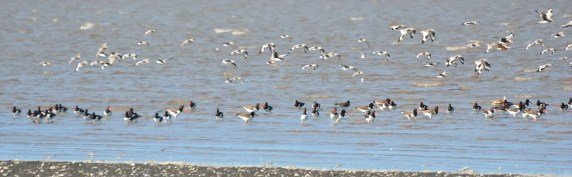An impressive 81 American Oystercatchers, several of which had color bands from the east coast of the US, was a high count at Estero Delta Real in the Nicaraguan portion of the Gulf of Fonseca on 21 Dec 2017. Photo © Orlando Jarquín.
