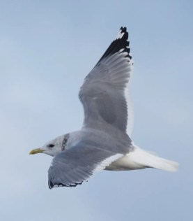 """This """"Kamchatka"""" Mew Gull, discovered at Meteghan Warf, Digby Co, Nova Scotia by Alix d'Entremont, was likely the same individual present at the same location the previous year. All photographs were taken 24 December 2017. Photos © Alix d'Entremont."""