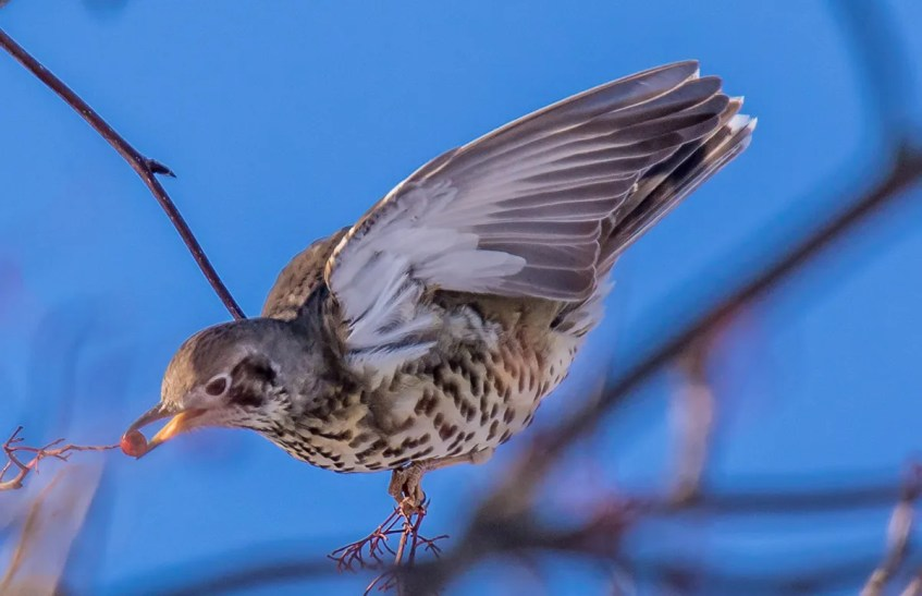 An extraordinary visitor to North America, this Mistle Thrush arrived in Miramichi, Northumberland Co, New Brunswick 9 Dec 2017 and lingered through 25 Feb 2018, providing many North American birders with an opportunity of a lifetime. This individual was a first for New Brunswick, Canada, and North America, here photographed 12 Dec 2017 (image a), and 10 Jan 2018 (images b–d). Photos © Peter Gadd.