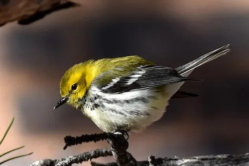 This Black-throated Green Warbler was a great find in Boulder, Boulder Co. 23 Dec 2017. Photo by © Nick Moore.