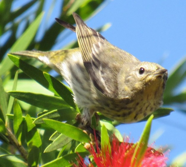 This Cape May Warbler was a great find in a Santa Ana suburban backyard in western El Salvador on 8 Feb 2018. It stayed for over a month and provided the country's first record of the species in over 40 years. Photo ©Edwin Calderón.