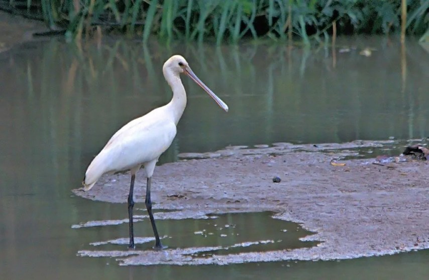 The second record of Eurasian Spoonbill for Barbados. First seen 30 Nov 2017, it was present throughout the winter period. Photographed here at Belleplaine, St. Andrews on 3 Dec. Photo © John Webster.