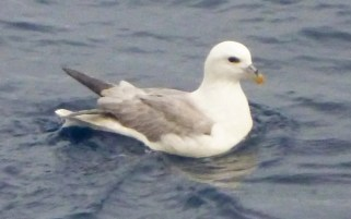 During a fishing trip to Challenger Banks (12 miles southwest of Bermuda) two fisherman photographed Bermuda's first record of Northern Fulmar. Photographed on 8 Jan 2018. Photo © Chris Burgess.